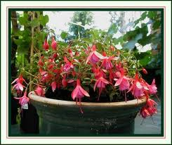 Greenhouse Fuchsia